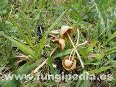 Conocybe tenera es un hongo del orden Cortinariales también conocido como , Conocibe delicado, konozibe samur... ver más información.