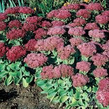 Perennial H 60 cm x S Green broccoli-like buds in mid-summer, which gradually open into large dusty-pink flower heads, finally deepening to rich bronzy-red. Full Sun Perennials, Best Perennials, Flowers Perennials, Ice Plant, Trees To Plant, Succulents Garden, Garden Plants, Sedum Plant, Snow In Summer