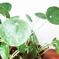 I love the little round leaves!🌿🌱 Leaves, My Love, Plants, Plant, Planets
