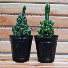 #elpaseodekaldi #cafeteria #viveroboutique #rosario #cabra #mural #plantas #cactus #cactuscastillo Cactus Plants, Planter Pots, Photo And Video, Instagram, Vivarium, Walks, Rosario, Castles, Plants
