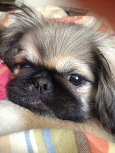 best photos, pictures and images about pekingese dog - oldest dog breeds Yorkies, Pekingese Puppies, Yorkie Dogs, Cute Puppies, Cute Dogs, Dogs And Puppies, Fu Dog, Yorkshire Terrier Dog, Collie