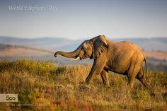 "World Elephant Day 2015 - ""The Future"" by chrishpetersen"
