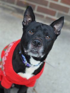 TO BE DESTROYED - 12/22/14 Brooklyn Center -P My name is SHADOW. My Animal ID # is A1022673. I am a male black and white labrador retr and am pit bull ter mix. The shelter thinks I am about 7 YEARS old. I came in the shelter as a OWNER SUR on 12/08/2014 from NY 11211, owner surrender reason stated was MOVE2NYCHA.