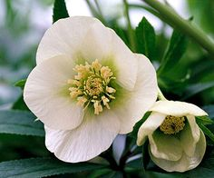 "Hellebore (also called Christmas rose) early bloomer.  Shade perennial. looks delicate, but quite sturdy once established.. grows 12 inches tall.  ""Heronswood Double"" offers frilly petal packed blooms in several colors.  Plant with gold-leaf coralbells such as ""lime Rickey"" or ""citronelle"" which will shine even brighter against dark green hellebore leaves."