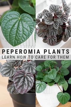 Peperomia Plant Care: Learn How to Grow Peperomia Plants Curious about how to grow peperomia plants? My peperomia plant care guide will tell you everything you need to know to help your peperomia plants thrive! Peperomia Plant, Pothos Plant, Kitchen Plants, Bathroom Plants, Plante Pothos, Duranta, Paradise Plant, Apartment Plants, Plant Aesthetic
