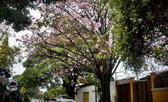 ¡Árboles multicolores anuncian el verano! - Diario La Tribuna Honduras