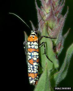 The Ailanthus webworm, Atteva aurea                           (5) Tumblr