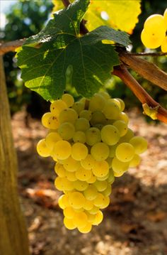 Bordeaux white grapes