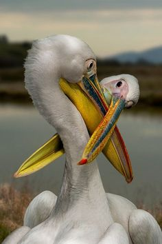 """our-amazing-world:  """" Pelican by Carlo Dur Amazing World  """""""
