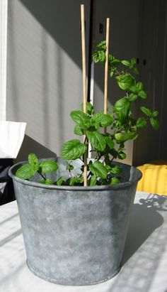 Mint plants need a lot of light and water (click for a bigger picture)