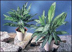 Aglaonema commutatumSjømannstrøstAraceae MyrkonglefamilienSTUE Cactus Plants, Plants, Cacti, Cactus