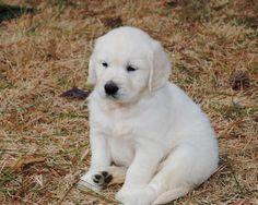 English Cream (white) Golden Retriever Puppy