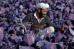 An Afghan farmer works in turnip fields on the outskirts of Mazar-e-Sharif on Jan. (Mustafa Najafizada/AP) An Afghan farmer works in turnip fields on the outskirts of Mazar-e-Sharif on Jan. Royal Purple Color, Purple Hues, Color Photography, Amazing Photography, Fotojournalismus, Picture Editor, Working People, Color Studies, People Of The World