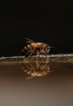 Honey Bee Drinking by Robert Saunders