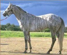 rare brindle color in horses