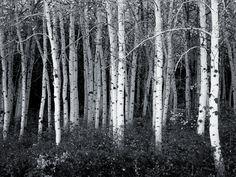 wallpaper dark forest | black and white aspen forest wallpaper, corporate socialist glenn beck ...