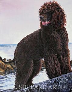 """An Irish Water Spaniel dog art portrait print of an LA Shepard painting 11x14"""". Here's a wonderful tribute to your best friend and favorite breed- the Irish Water Spaniel! from an original painting by L.A.Shepard, whose unique, beautiful work has been collected around the world. Your print will be individually signed under the image by the artist, and initialed on the image. Copyright text is for display purposes only and will not appear on your artwork. The image is 11x14 inches and is..."""