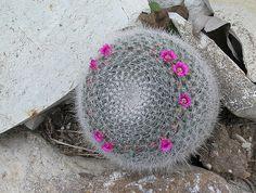 Mammilaria hanniana