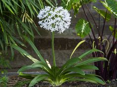 """Queen Mum™ Agapanthus planted together with Elephant Ear, Colocasia esculenta """"white Lava"""" and"""