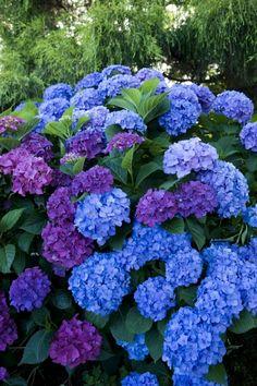 hortensien garten Fiori blu e viola Beautiful Flowers Garden, Amazing Flowers, Pretty Flowers, Purple Flowers, Beautiful Gardens, Hydrangea Garden, Hydrangea Flower, Dream Garden, Garden Inspiration