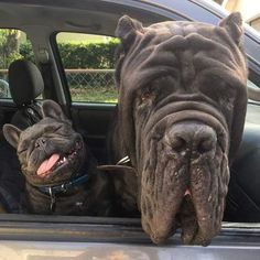 The major breeds of bulldogs are English bulldog, American bulldog, and French bulldog. The bulldog has a broad shoulder which matches with the head. Cute Funny Animals, Funny Animal Pictures, Dog Pictures, Funny Dogs, Animal Pics, Funny Dog Names, Funniest Pictures, Hilarious Photos, Cute Puppies
