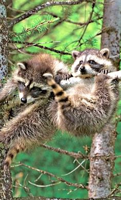 Cute Animals Status Video, Animals Pictures Cute Images in Cute Baby Animals Live Wallpaper these Beautiful Cute Animals Wallpapers Woodland Creatures, Cute Creatures, Beautiful Creatures, Animals Beautiful, Baby Raccoon, Cute Raccoon, Cute Baby Animals, Animals And Pets, Funny Animals