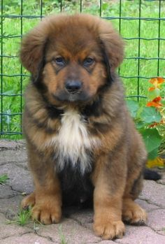 Bernese Mountain Dog Chow Mix Goldenacresdogscom