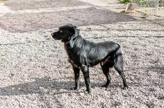 STATUS UNKNOWN - Black Bear - ALPINE HUMANE SOCIETY in Alpine, TX - ADOPT OR FOSTER - Young Neutered Male Lab/Golden Retriever Mix