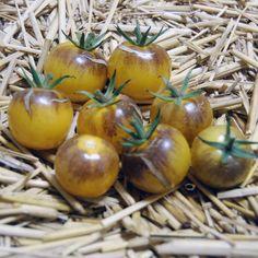 Blue Tomato INDIGO™'Sun' F1 ブルートマト・インディゴ・サン・F1
