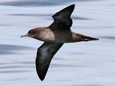 Sooty Shearwater Sea Birds, Wild Birds, Maori Designs, Life List, Sketching, Pictures, Photos, Irish, Washington