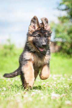 Absolutely Adorable German Shepherd Puppies Photos | herinterest.com/