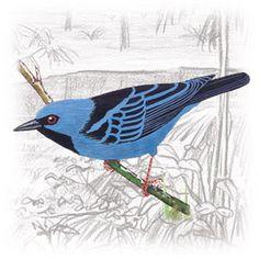 Saí-Azul (Dacnis cayana)