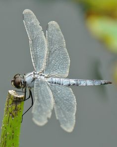 Greater Blue Skimmer (Orthetrum melania) by Divonsir Borges Dragonfly Insect, Dragonfly Tattoo, Dragonfly Quotes, Dragonfly Images, Dragonfly Painting, Dragonfly Wings, Flying Insects, Bugs And Insects, Beautiful Bugs