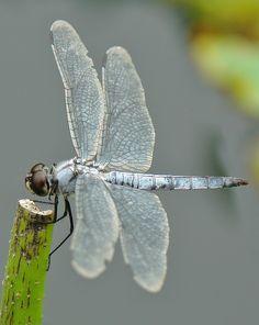 Greater Blue Skimmer (Orthetrum melania)