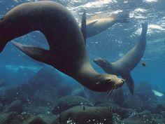Galapagos Islands seals, animal lovers, animals, furs, desktops, seas, sea lions, galapagos islands, underwater world