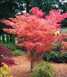 Kigi Nursery - Acer palmatum ' Ao kanzashi ' Japanese Maple Tree, $20.00 (http://www.kiginursery.com/maples/acer-palmatum-ao-kanzashi-japanese-maple-tree/)