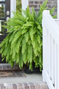 huge front porch ferns in black urns on either side of door - All For Garden Farmhouse Landscaping, Front Yard Landscaping, Landscaping Ideas, Front Porch Plants, Landscape Design, Garden Design, Potted Ferns, Backyard Projects, Porch Decorating