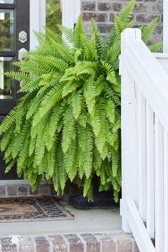 huge front porch ferns in black urns on either side of door - All For Garden