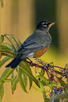 New Robin Bird Photography Pictures Ideas Cute Birds, Pretty Birds, Beautiful Birds, House Beautiful, Tropical Birds, Colorful Birds, Pet Bird Cage, American Robin, Robin Bird