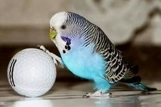 Blue Budgerigar / Melopsittacus undulatus loves playing with the ball :D
