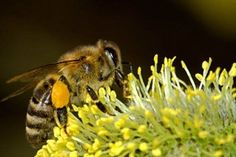 http://www.publicdomainpictures.net/view-image.php?image=13476&picture=bees