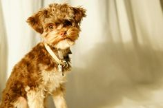 "My Cute Puppy Bolonka Zwetna ""Bazooka"""