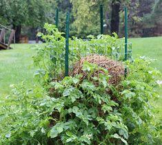 Больше не покупайте картошку. Новый метод выращивания нескончаемого запаса картошки прямо у Вас дома