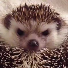 Things that make you go AWW! Like puppies, bunnies, babies, and so on. A place for really cute pictures and videos! Happy Hedgehog, Hedgehog Pet, Cute Hedgehog, Hedgehog Treats, Beautiful Creatures, Animals Beautiful, Animals And Pets, Funny Animals, Tier Fotos
