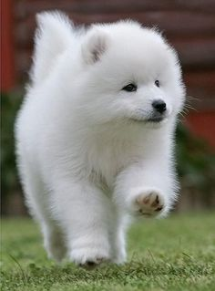 29 Samoyed Saturday Dog Samoyed Photos Who doesnt love cute dogs and are some of the cutest. Big Fluffy clouds of fur. Samoyed Dogs, Pet Dogs, Dog Cat, Cute Baby Animals, Animals And Pets, Funny Animals, Beautiful Dogs, Animals Beautiful, Background Grey
