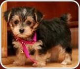 This is the kind of dog we want! It's a Morkie, maltese yorkie mix