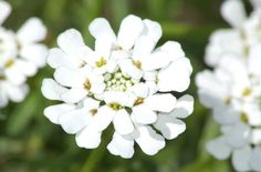 Learn how to grow candytuft flowers (Iberis sempervirens), late-spring bloomers of a blinding white color—an excellent perennial groundcover. Edging Plants, Border Plants, Garden Edging, Foliage Plants, Pink Perennials, Herbaceous Perennials, Perennial Plant, Rock Garden Plants, Cottage Garden Plants