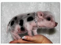 Image detail for -Christmas Mini teacup Pigs need a new home - $400