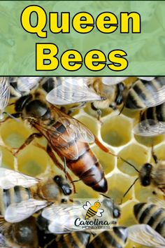 Queen bees are the royalty of the hive.  A queen bee has more than one role to play. #carolinahoneybees #queenbees #honeybees