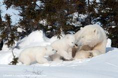 an image in an email sent to me by Polar Bears International 04-07-2016